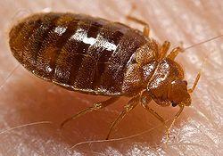 250px-Bed_bug,_Cimex_lectularius