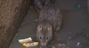 Sewer rats, or brown rats, are sneaking into houses in the UK to escape the flooding